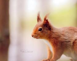 Red Squirrel II by FreyaPhotos