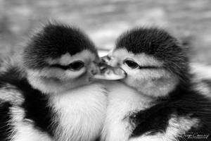 Duckie Love by FreyaPhotos