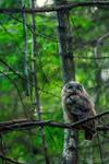 Tawny Owlet by FreyaPhotos