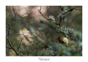 Goldcrest by FreyaPhotos