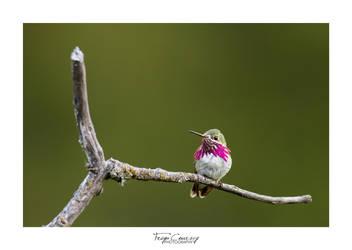 Calliope Hummingbird by FreyaPhotos