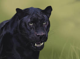 Panther Study by LhuneArt