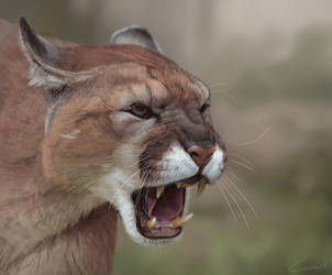 Cougar study by LhuneArt
