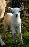 lamb by joopmilder