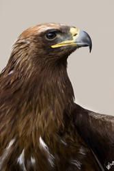 Golden Eagle by aldana07