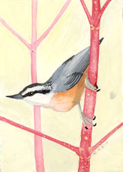 Red-Breasted Nuthatch by MsMergus