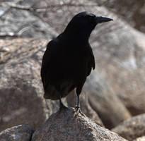Acadian Crow by MsMergus