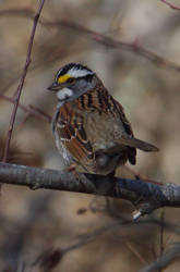 White-Throated Sparrow by MsMergus