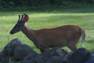 Evening Buck by MsMergus