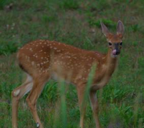 Bambi by MsMergus
