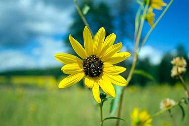 Sunflower by cheesedog1