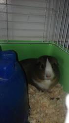 Chillin' Guinea Pig :) by GeineaLombax