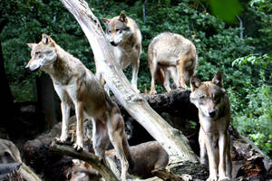 one family,wolf 36 by AzureHowlShilach