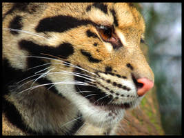 Eyes of the Clouded leopard by AzureHowlShilach