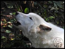 Howling arctic wolf by AzureHowlShilach