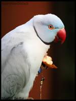 Blue indian ringneck by AzureHowlShilach