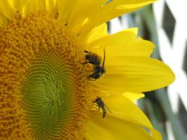 g2-sunflower-3 by zinux