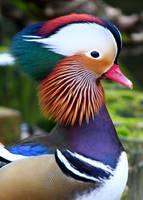 Mandarin Portrait by AJKent