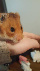 My friends adorable hamster by layaon