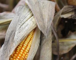 Corn! by SilverSymphony