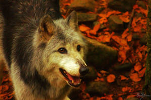 Canadian Wolf 4 by Nordstjarna