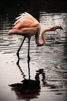 Slimbridge: Flamingo 4 by Coigach