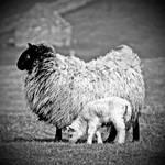 Mossyard: ewe+lamb1 by Coigach
