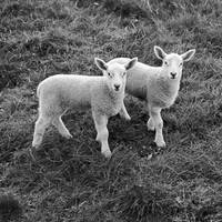 Synchronised Lambs by Coigach