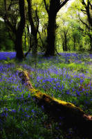 Bluebell Glow by Coigach
