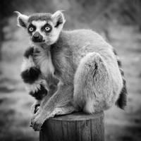 Lemur Portrait by Coigach