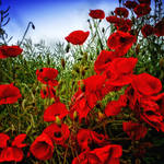 Field Poppies 1 by Coigach