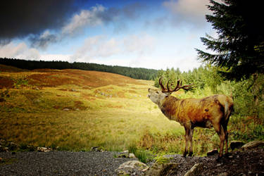 Galloway Stag by Coigach
