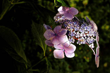 Summer Light - Hydrangea by Coigach