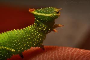Lime Hawk moth caterpillar by webcruiser