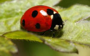 Ladybug widescreen by webcruiser