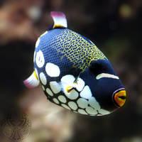 Clown triggerfish by webcruiser