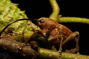 Acorn Weevil by webcruiser