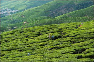 Tea Plantations of Kerala by IgorLaptev