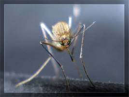 The mosquito eyes color. by BaselMahmoud
