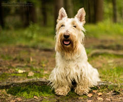 Scottish terrier by interstycjalna