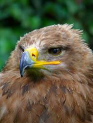 Eagle by CeskaSoda