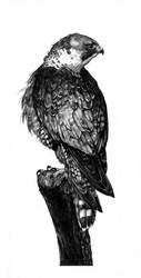 Falco Peregrinus by DK19