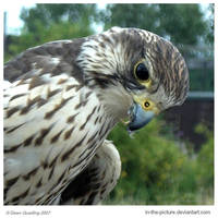 Saker Falcon I by In-the-picture