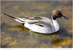 Pintail by In-the-picture