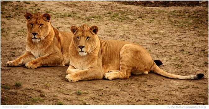 Two Laidback Lions by In-the-picture