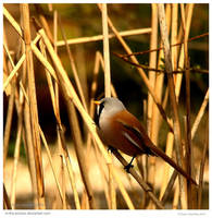 Bearded Tit by In-the-picture