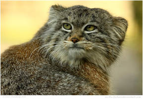 Pallas Cat Awake At Last by In-the-picture