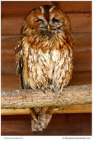 Rescued Tawny by In-the-picture