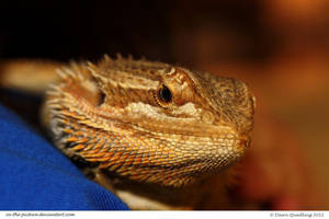 Beautiful Beardie by In-the-picture