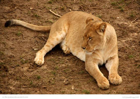 Chillun Lioness by In-the-picture